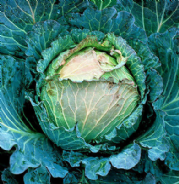 Cabbage January King Extra late No 3 - Appx 1000 seeds